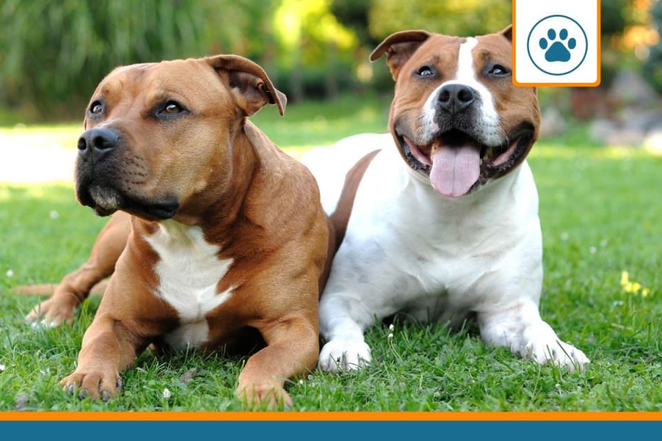 deux chiens de catégorie 1 avec obligation d'assurance