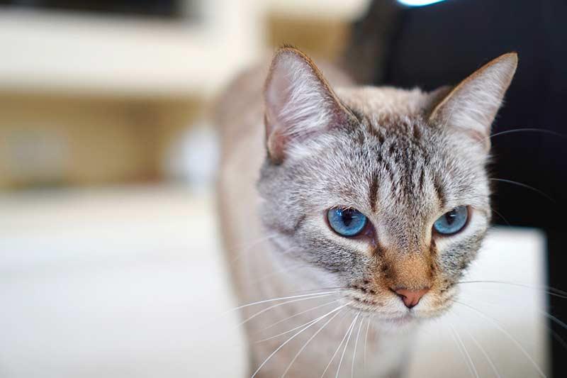 santé chat domestique