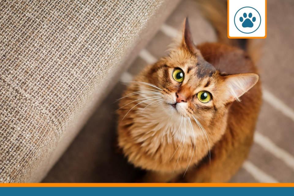 chat roux qui dispose d'une mutuelle chat sans carence
